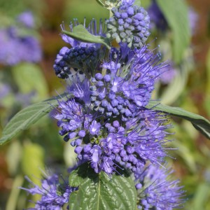 caryopteris Empire bleu 008